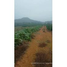 Aceite de eucalipto natural 100% puro OEM ODM sin diluir