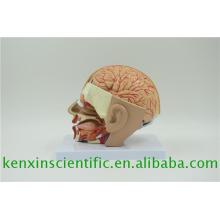 Nuevo modelo de cerebros