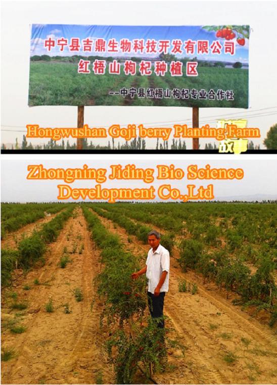 Goji Berry Wolfberry Planting Farm