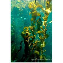 Extrato de algas marinhas 100% solúvel em fertilizante orgânico