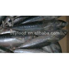Fuzhou dingshengyuan comercio co., Ltd pescado bonito congelado todo ronda