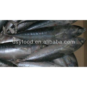 Fuzhou dingshengyuan trade co.,ltd frozen bonito fish whole round
