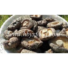 Champignon de Shiitake lisse frais de champignon de qualité à vendre