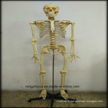 170cm Plastic Human Skeleton Model (Transparent thoracic) Biological Model Supplier