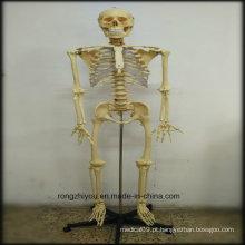 Modelo de esqueleto humano de plástico de 170cm modelo (modelo torácico transparente) modelo modelo biológico