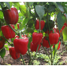 HSP08 Dangzo red F1 hybrid bell/sweet pepper seeds in vegetable seeds