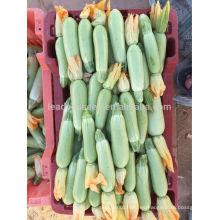 Semillas de calabaza SQ15 Yila resistentes al calor, semillas de calabaza, semillas de calabaza de forma larga