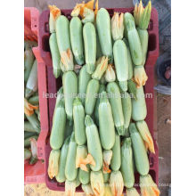 SQ15 Yila hot resistent squash seeds, gourd seeds,long shape squash seeds