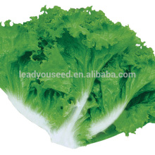 LT03 Jiulong seasons early maturity lettuce seeds from Guangzhou