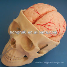 ISO Skull Model with 8 Parts of cerebral artery, Skull Anatomy model