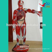 ISO 170 cm Músculos humanos modelo con órganos internos, modelo de músculos anatómicos