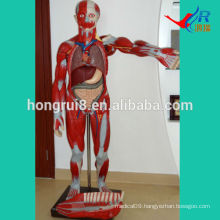 ISO 170-cm Human Muscles model with internal organs, anatomical muscles model