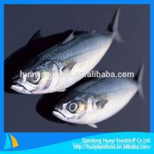 China Origin Frozen Mackerel Fish