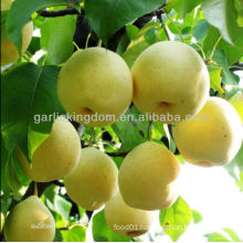 Good quality Fresh Golden pear /Yellow pear on sale