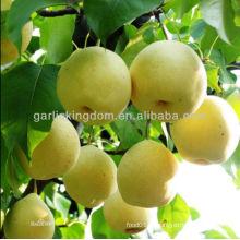 Хорошее качество Свежие Золотые груши / Желтые груши в продаже