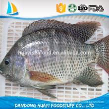 main season fresh water tilapia fish raw tilapia fillet