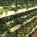 NFT Strawberry Hydroponic Growing Gully