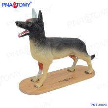 PNT-0824 Nuevo modelo animal de diseño modelo anatómico Perro entero