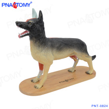 PNT-0824 New design animal model whole Dog anatomical model