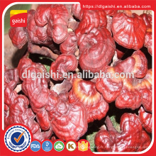 Superfood médecine Ganoderma lucidum red reishi extrait de champignon