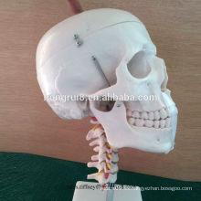 ISO Life Size cráneo con columna cervical modelo, modelo de cráneo anatómico