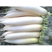 Gute Qualität / konkurrenzfähiger Preis / neue Ernte / frischer weißer Rettich (600-800g)