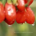 Lyophiliser Goji Berry
