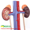 SELL 12425 Medical Science Human Urinary System Model for School Education