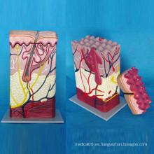 Modelo de anatomía médica de la piel humana para la enseñanza (R160101)