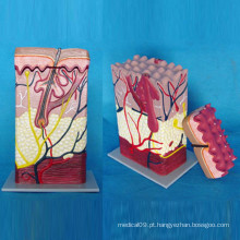 Modelo de anatomia médica da pele humana para ensinar (R160101)