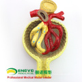KIDNEY06(12435) Medical Science Model Kidney Section, Nephron and Glomerulus, Anatomy Models > Urinary Modelss 12435