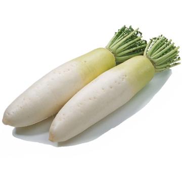 Fresh white radish crops 2020