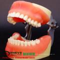 DENTAL26(12608) Comprehensive Practice Models of Dental Surgery