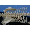 Cat Skeleton Model for Teaching and Medical Purpose Animal Anatomical Model