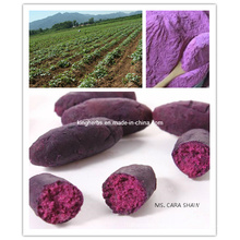 100% Natural Protect Liver Purple Potato Extract Powder