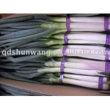 Cebola verde fresca