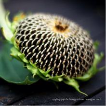Chinesische Sonnenblumensamen mit neuer Ernte der hohen Qualität