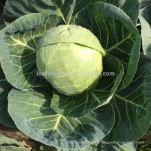 C11 Hongmei maturidade precoce de 60 a 70 dias sementes de repolho híbrido