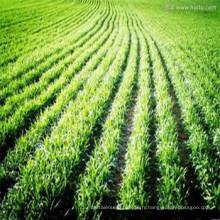 jeune poudre d'herbe d'orge 100% pure de notre propre usine