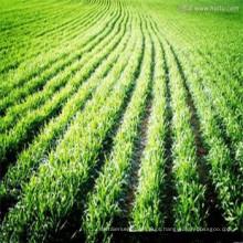 pó novo da grama de cevada 100% puro de nossa própria fábrica