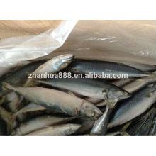 Mackerel Variety and Block Shape Hard tail scad frozen Horse makerel