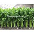Suntoday vegetal F1 crecer repollo chino surtido de apio fresco de Europa semillas híbridas vegetales de alto tiempo para semillas de venta (A4300)