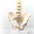 PELVIS05 (12342) Medizinische Wissenschaft Professionelles Medizinisches Modell Life-Size-Becken mit Lendenwirbelsäule 5pcs Anatomie