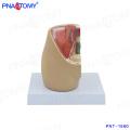 PNT-1580 mini female pelvis model on desk model
