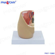 PNT-1580 mini female pelvis model on desk model