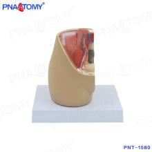 PNT-1580 mini modelo de pelve feminina no modelo de mesa