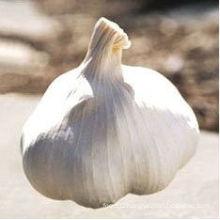 New Crop Fresh Chinese Garlic