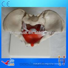 ISO Modelo pélvico femenino con músculos pélvicos y órganos pélvicos, modelo de anatomía pélvica