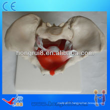 ISO Female pelvic model with pelvic muscles and pelvic organs, Pelvic anatomy model