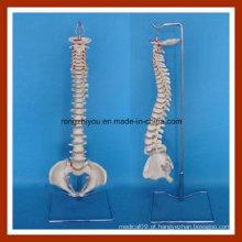 Modelo flexível clássico da espinha com modelo de esqueleto da pelve feminina